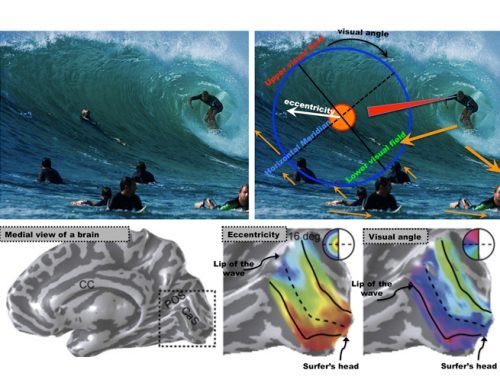 The Neuroscience of Surf: How Your Brain Reads Waves